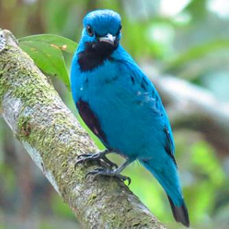 Panama Birdwatching Tour